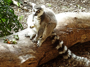 Picture of a lemur