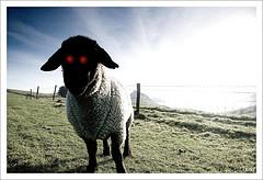 Red eyed ram