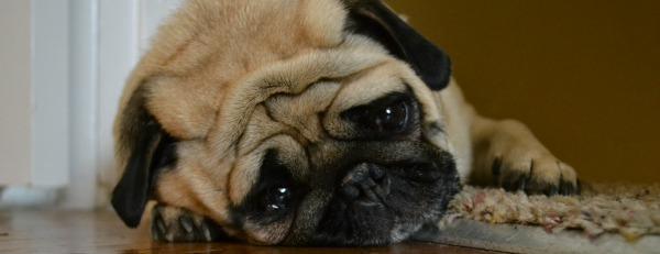 a sad pug dog