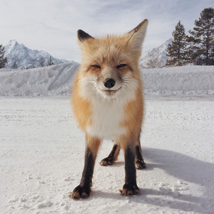 snowy photo of a fox taken on an iphone