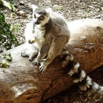 Picture of a lemur sitting on a log
