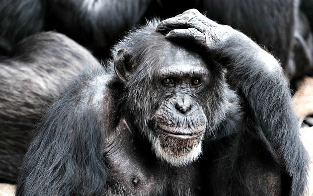 Ape scratching his head