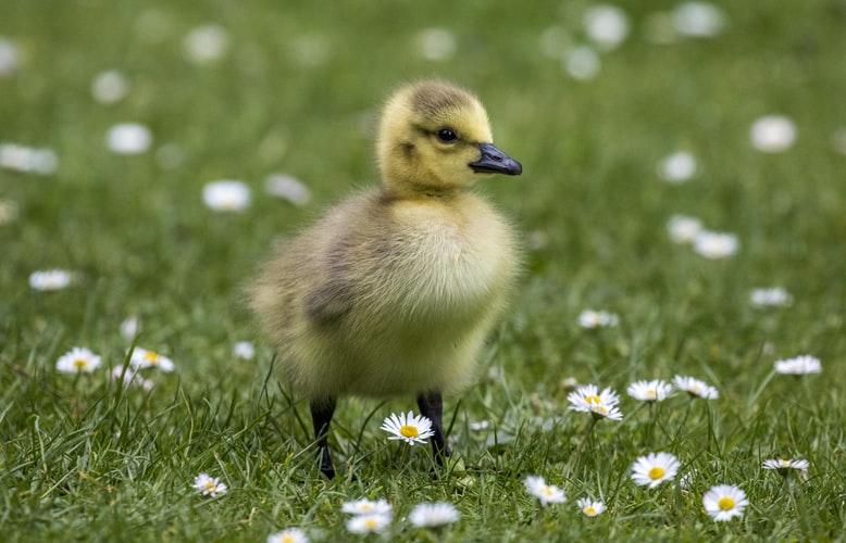 Inbound Marketing Duckling